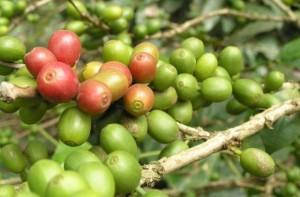 Зеленый кофе в зернах – залог твоего здоровья